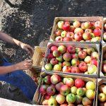 EU u manjku sa jabukama, okreću se ka Srbiji