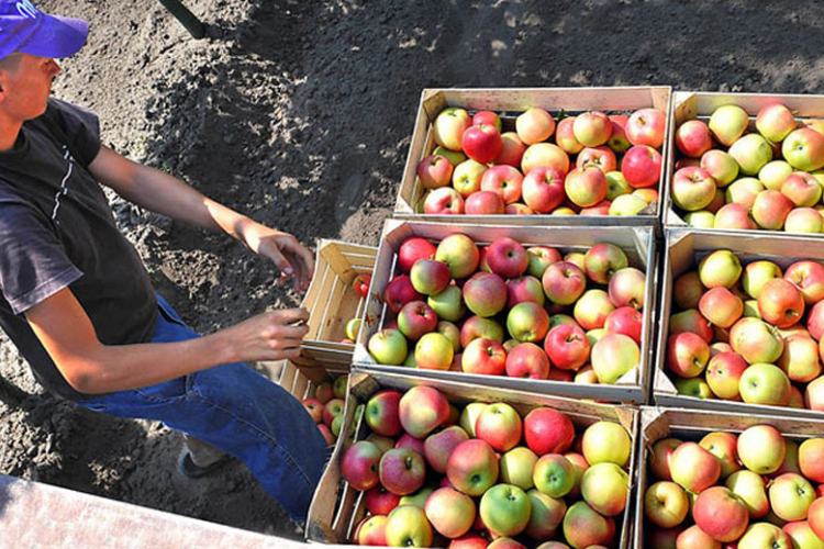Od danas zabranjen izvoz jabuka u Rusiju
