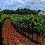 Srpsko sjeme obnavlja vinograde na Krimu