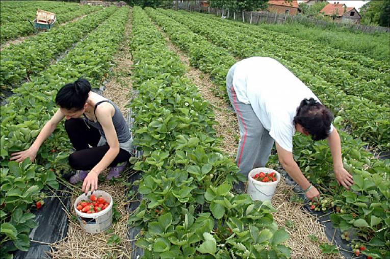 Idealni uslovi za uzgoj maline i jagode