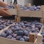 Nova šansa za Srbiju: Ponovo dozvoljen izvoz koštičavog voća u Rusiju