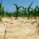 Zbog suše urod upola manji, šteta do 400 miliona