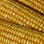 Rod kukuruza ove godine biće manji za 60 odsto