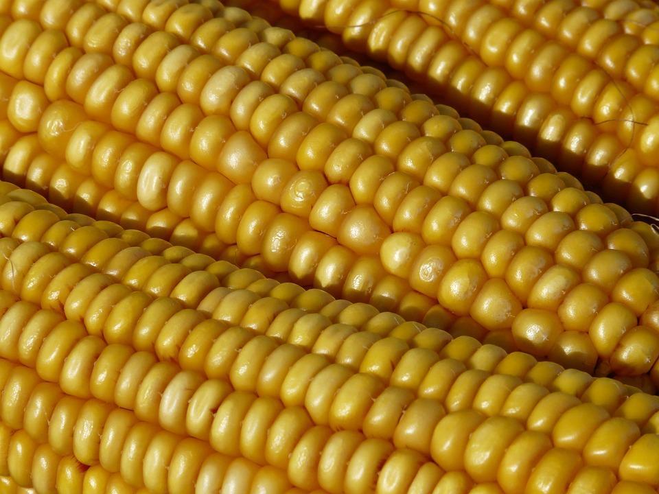 Berićetan rod kukuruza