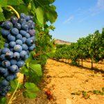 Proizvodnja vina u Francuskoj smanjena za petinu