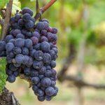 Proizvodnja grožđa u Evropi najmanja u posljednjih 36 godina
