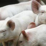 Rusija zabranila uvoz svinja iz EU i SAD-a