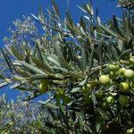 Loša sezona za hercegovačke uzgajivače maslina