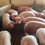 Iz BiH za godinu dana skroman izvoz svinjskog mesa