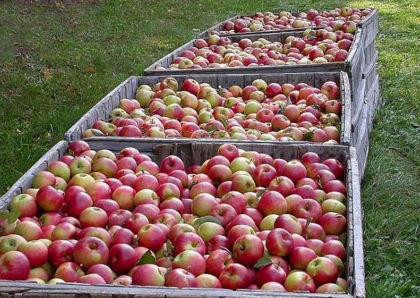berba jabuka