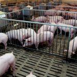 Zabranjen uvoz svinja u BiH