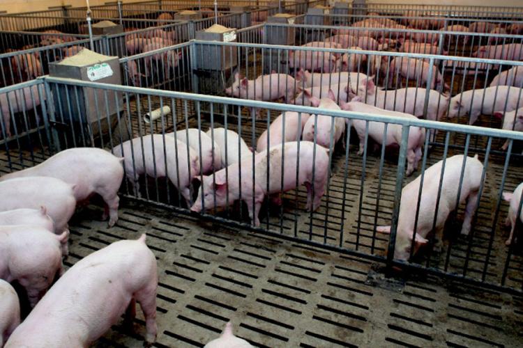 Uvoz svinjskog mesa iz Istočne Evrope gasi domaću proizvodnju