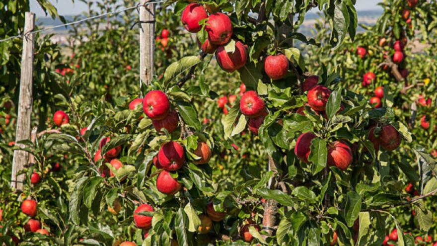 Jabuke rodile, problem plasman na tržište