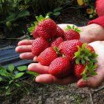Pesticidi u jagodama nisu iznad dozvoljenog
