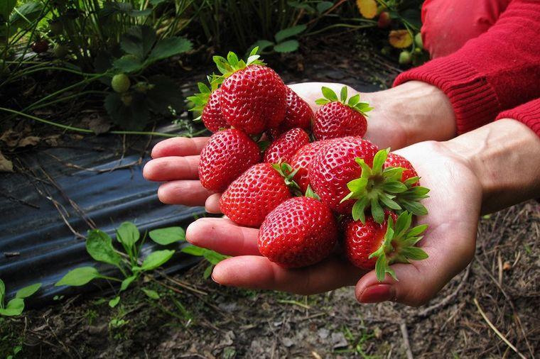 U RS zabranjen uvoz 6,5 tona smrznutih jagoda iz Slovenije