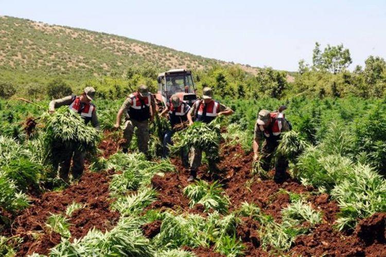 Crnogorci bježe da rade na plantaže marihuane