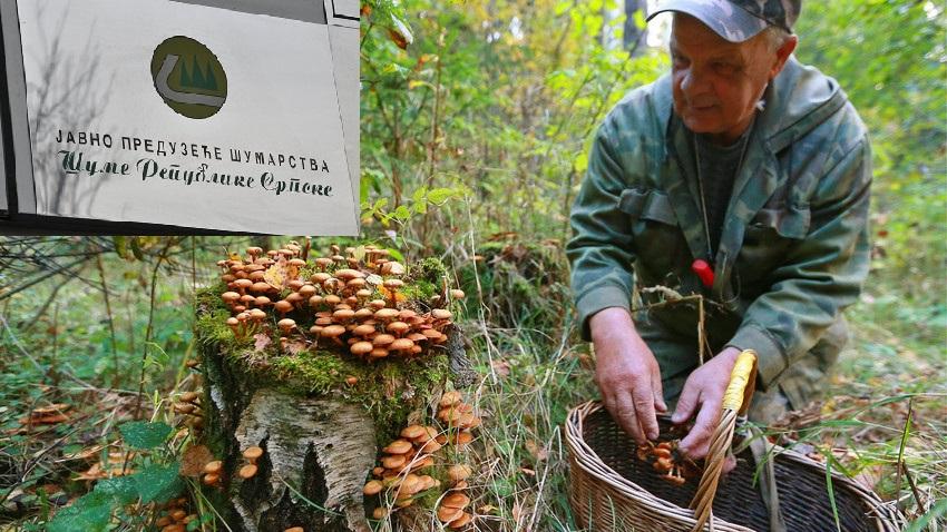 """Uprava """"Šuma RS"""" višak radnika šalje da beru gljive, jagode, bilje…"""