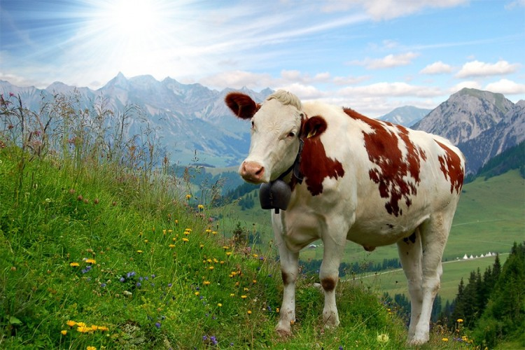 Švajcarski stočari sa rogatim kravama neće dobiti subvencije