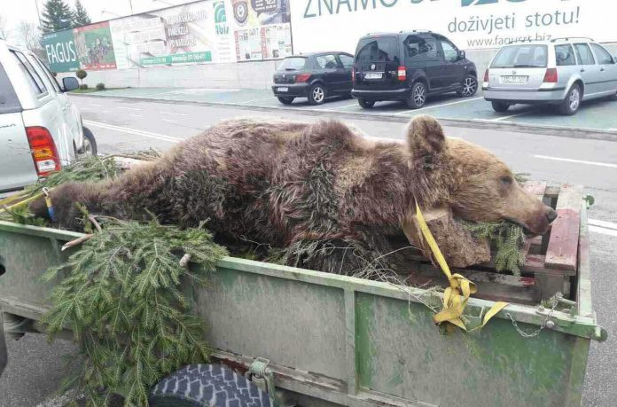 Gdje nestaju lovački trofeji iz Bosne i Hercegovine: Šta zna medvjed šta je granica!
