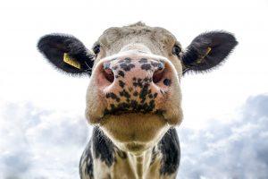 izvoz mlijeka