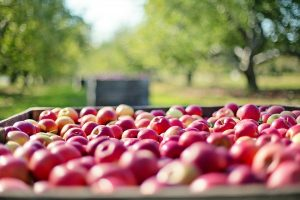 izvoza jabuka i sadnica jabuka