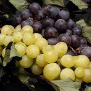 uvoz grožđa